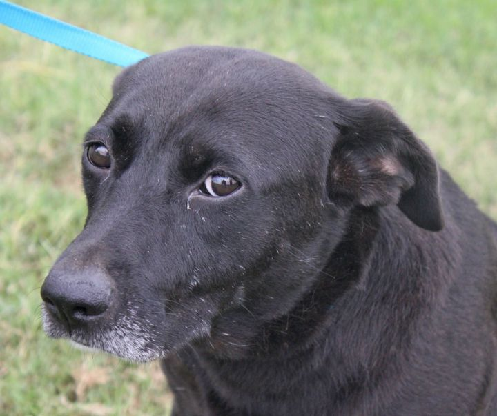MoMo, an adopted Labrador Retriever & Black Labrador Retriever Mix in Manchester, NH