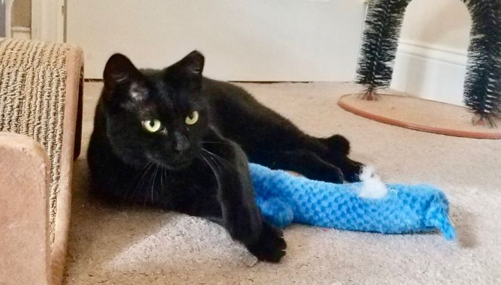 Sebastian, an adopted Domestic Short Hair in Holtsville, NY