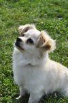Tibetan Spaniel Dog: Sunny