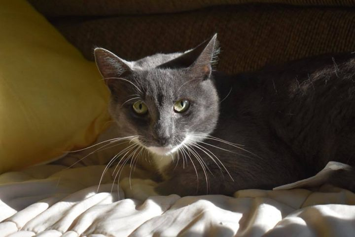 Felix, an adopted Domestic Short Hair in Burlingham, NY