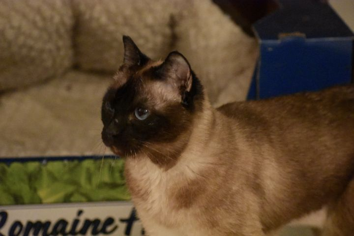 Miss Tiffy, an adoptable Domestic Short Hair & Siamese Mix in Burlingham, NY