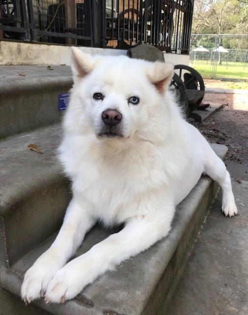 Dog for adoption - Rowan, a Husky & Chow Chow Mix in Houston