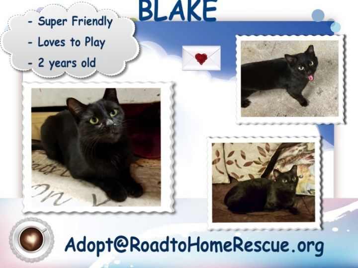 Blake, an adopted Domestic Short Hair in Holtsville, NY
