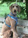 Standard Poodle Dog: Flaps