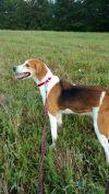 Foxhound Dog: Sandy