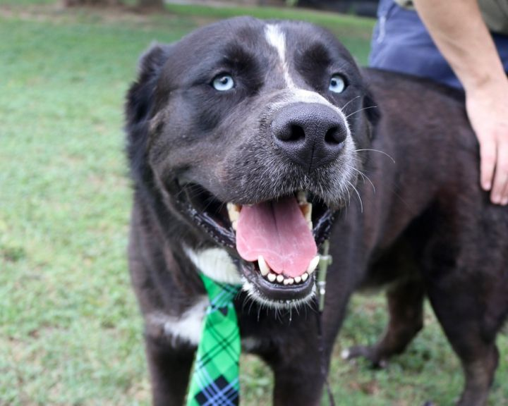 Lucas JuM, an adoptable Husky & Labrador Retriever Mix in Von Ormy, TX