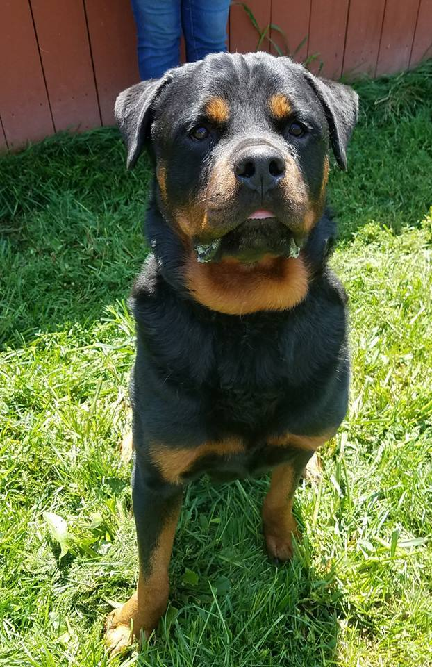 Dog For Adoption Goliath Super G Near Avon Oh Petfinder