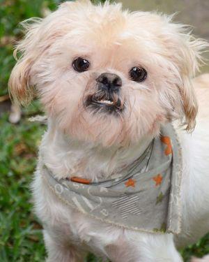 Hastings Harris Lhasa Apso Dog