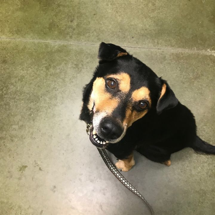 Allie, an adoptable Terrier & Rottweiler Mix in Stone Mountain, GA