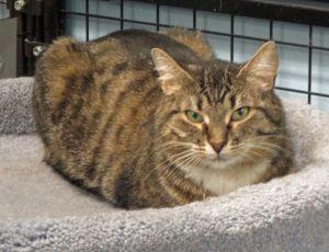 Eliza Tabby Cat