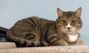 Reyna Domestic Short Hair Cat