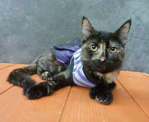 Thumbelina - 4 Paw Polydactyl Kitten