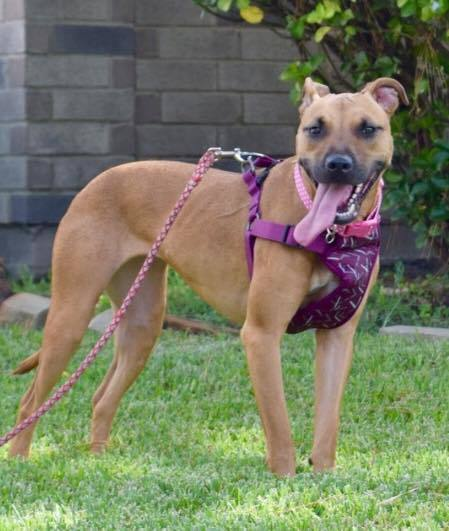 Macy, an adoptable Black Mouth Cur Mix in Cypress, TX