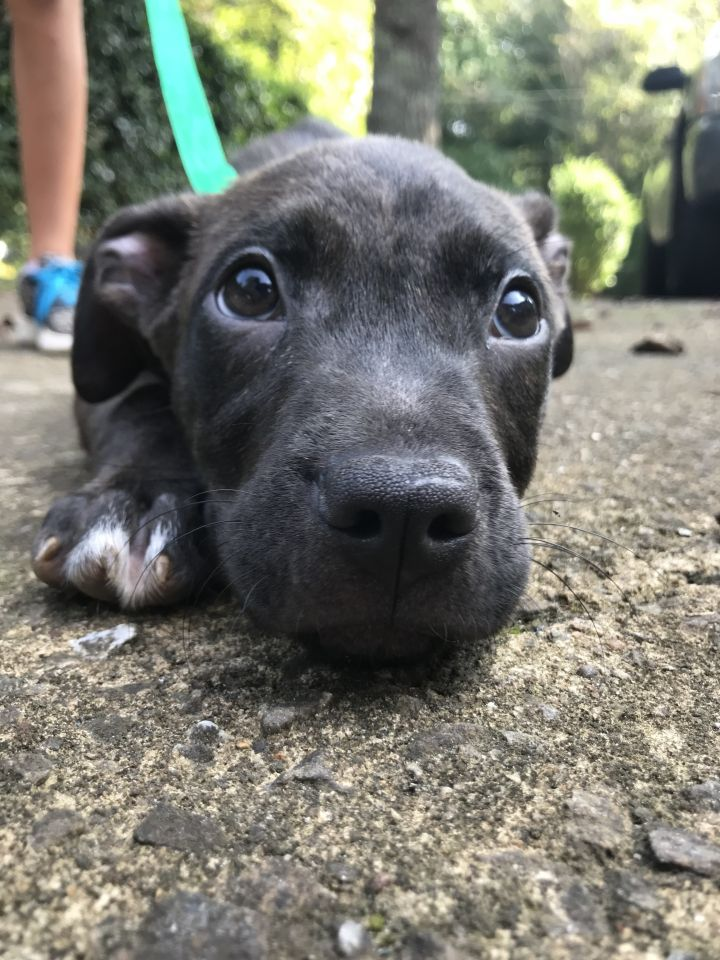 Gauge, an adopted Labrador Retriever Mix in Woodstock, GA