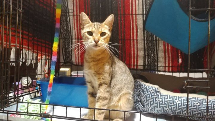 Honey, an adopted Domestic Short Hair in Wantagh, NY