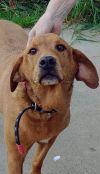 Yellow Labrador Retriever Dog: Buddy