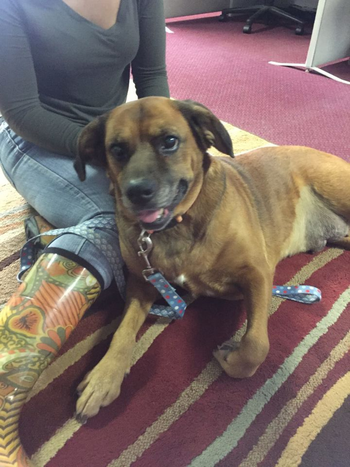 Daisy, an adopted Boxer & Labrador Retriever Mix in Frankfort, KY