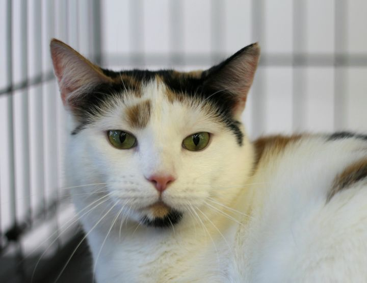 Addie Lee, an adoptable Domestic Short Hair & Calico Mix in Maspeth, NY