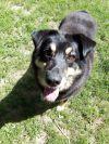 Collie Dog: Jessie