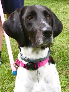 Dog For Adoption Chewy A German Shorthaired Pointer Hound Mix