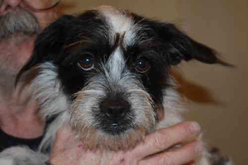 Dog for adoption - Oreo BB, a Cairn Terrier Mix in Shoreline