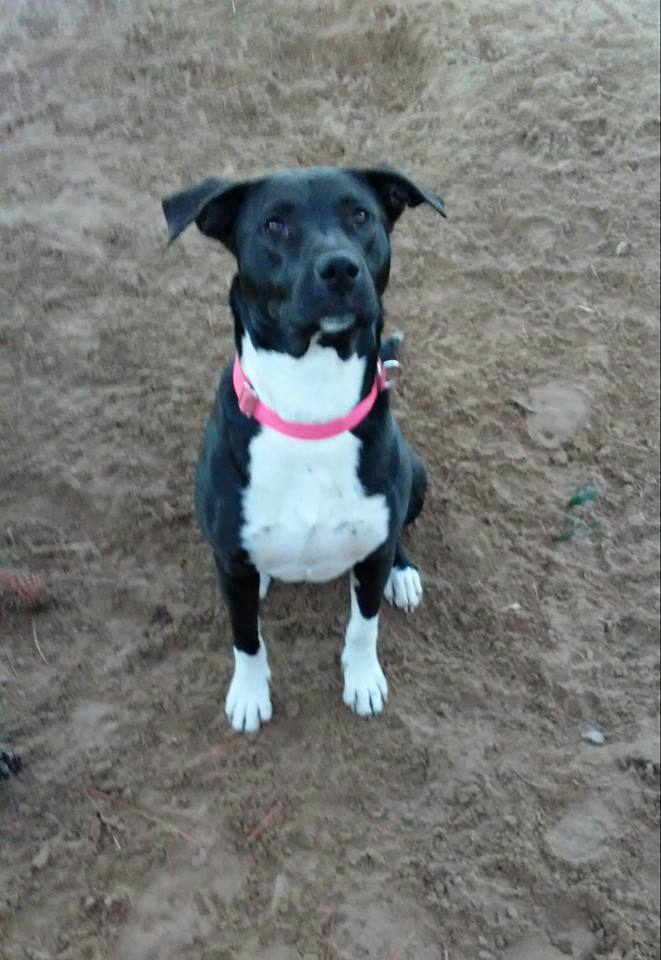Callie, an adoptable Pit Bull Terrier in Manhattan, KS