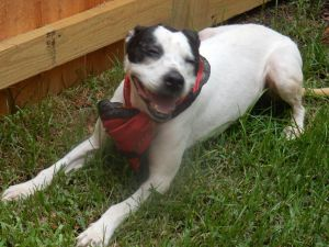 Lilly is a 6 to 8 year old border collie terrier mix She is very timid and shy but very