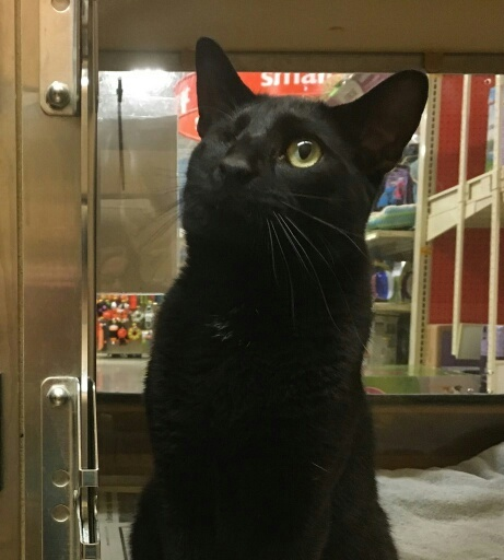 JACK (AKA ONE EYED JACK), an adopted Domestic Short Hair in Sewell, NJ