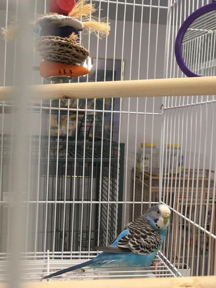 Parrot for adoption - Jewel, a Budgie / Budgerigar in
