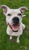 Bull Terrier Dog: Dot