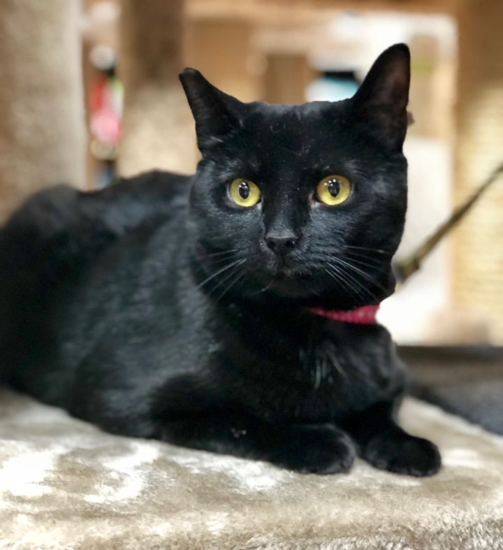 MissBillie, an adopted Domestic Short Hair in Boiling Springs, PA