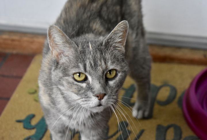 Gracie Lou, an adoptable Domestic Short Hair in Burlingham, NY