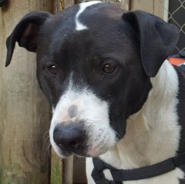 Miss Snow White, an adoptable American Staffordshire Terrier & Rottweiler Mix in Rogue River, OR