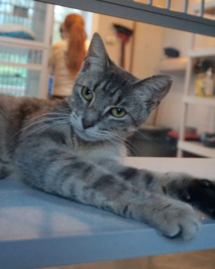 Aretha, an adopted Domestic Short Hair in West Milford, NJ