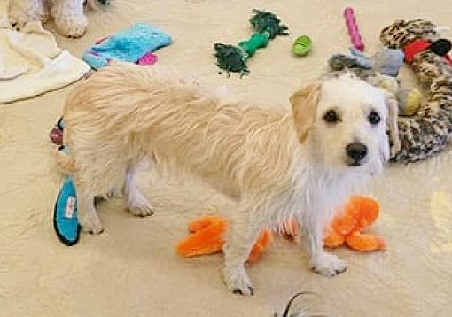 Dog for adoption - Wendel, a Terrier & Cockapoo Mix in