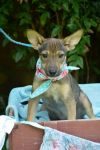 Miniature Pinscher Dog: Harmony (Fostered in TN)