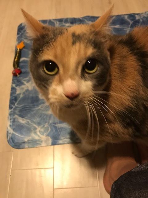 Sassafras - lap cat 3