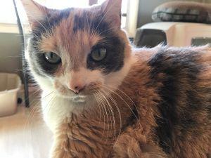 Sassafras - lap cat