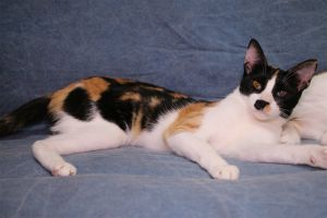 Laura American Shorthair Cat