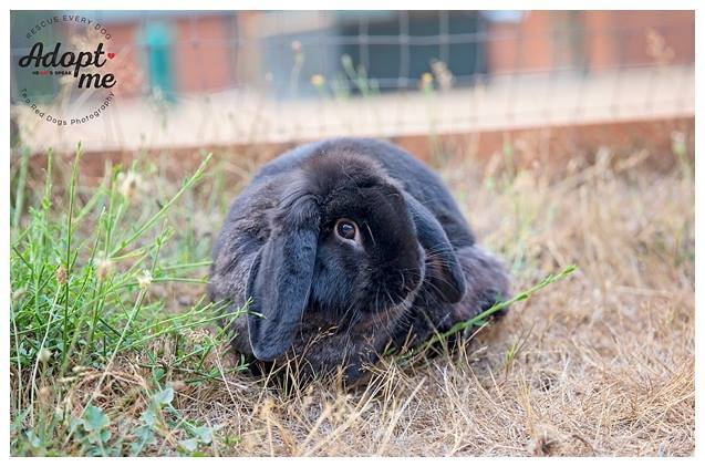 Pikachu, an adopted Mini Lop in Seattle, WA