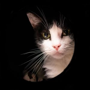 Im the black and white kitty with bouncy meows Im a good-natured young man who is a bit shy I