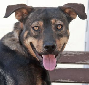 George von Clooney is an adorable 7-8-month-old Shepherd mix In his foster home George has transfo