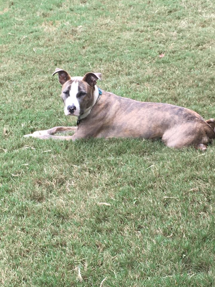 Tallulah, an adopted American Staffordshire Terrier Mix in Woodstock, GA