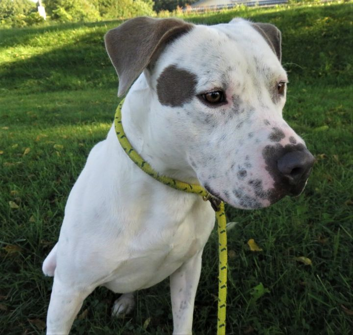 Croc, an adopted Pit Bull Terrier Mix in Harrisburg, PA