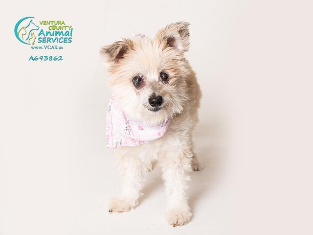 TAFFY, an adoptable Cairn Terrier Mix in Camarillo, CA