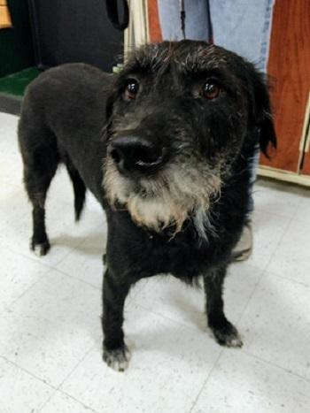 Dog For Adoption Bigly A Black Labrador Retriever German