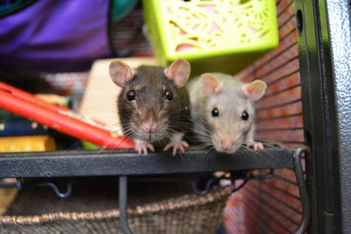 Cosmo, Trixie, Pip, Yoko and Nala, an adopted Rat in Brooklyn, NY