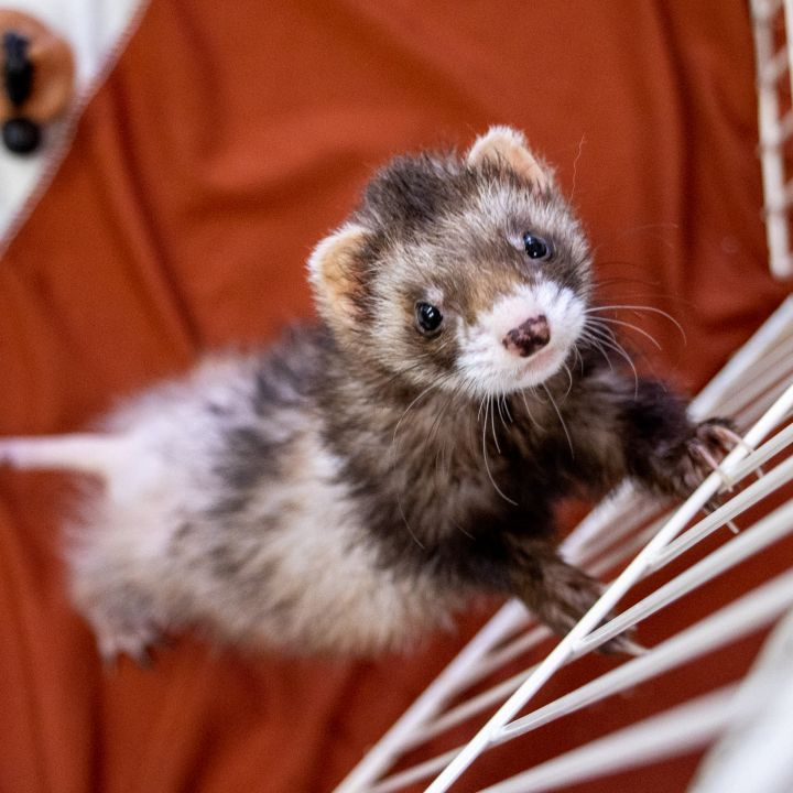 Wild Style and Zelda, an adoptable Ferret in Lyons, IL