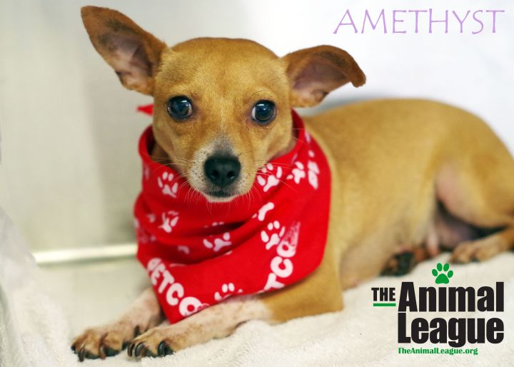 Amethyst, an adopted Chihuahua Mix in Clermont, FL