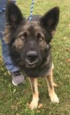 German Shepherd Dog Dog: Harley